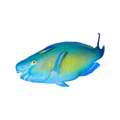 Tropical fish isolated on white: Parrotfish