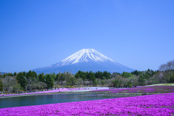 Phlox and Mt.Fuji