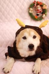 トナカイの衣装を着た犬