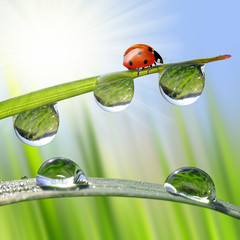 Fresh morning dew and ladybird. Nature background.
