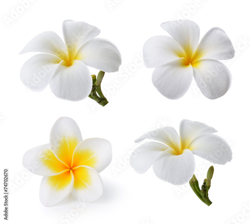 Foto op Canvas Frangipani Tropical flowers frangipani (plumeria) isolated on white backgro