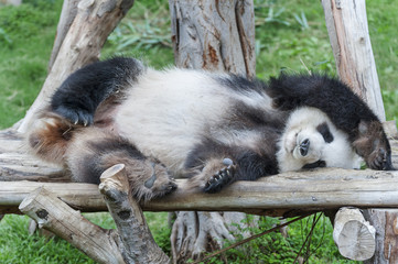 A sleeping giant panda bear