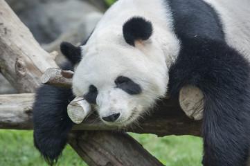 A sleeping giant panda bear