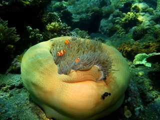 Sea anemone, Island Bali, Tulamben