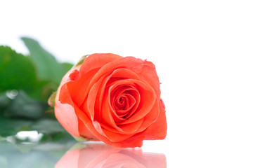 beautiful natural rose