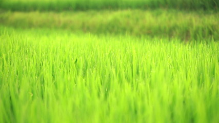 Pan shoot of rice field with dew