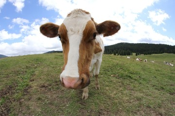 cow photographed with fisheye lens