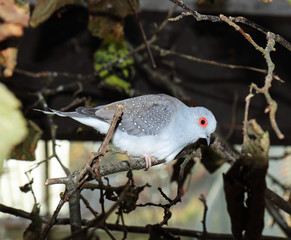 Diamond Dove perched on a tree branch (Geopelia cuneata)