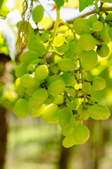 Green grapes cluster on vine