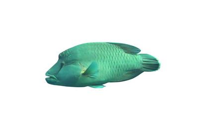 Napoleon Wrasse fish isolated on white