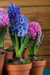 Group of fresh bulb spring flowers in ceramic pot