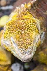 Galapagos land iguana, Charles Darwin Research Station