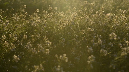 Wild flowers in the meadow at sunrise with a romantic light