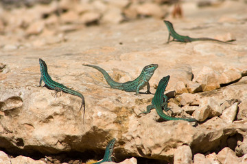 Blue lizards on formentera island