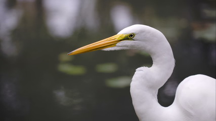 Beautiful Great Egret by the water
