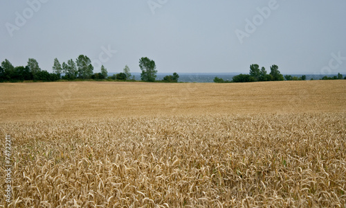canvas print picture Wheat field