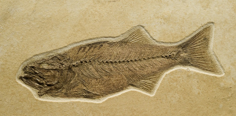 Fossil of a fish -mioplosus labracoides, Fossil Lake-Wyoming-USA
