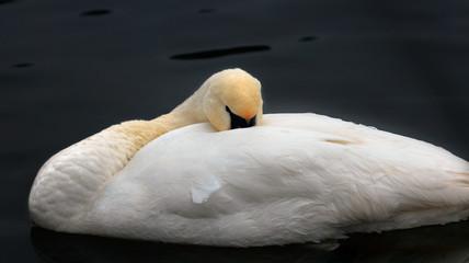 Śpiący Łabędź
