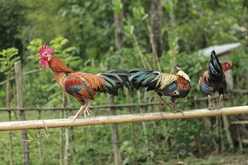 roosters on a branch of bamboo