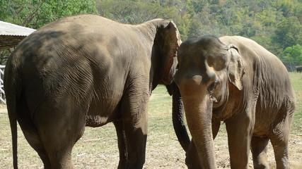 Elephants asie