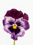 赤紫の三色菫