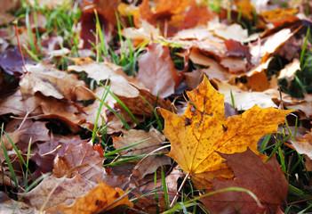 Blätter eines Ahorn im Herbst