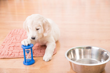 training of golden retriever puppy