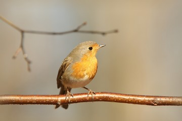 European Robin (Erithacus rubecula) on a twig