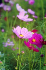 Field of pink cosmos flowers - flowers and garden.