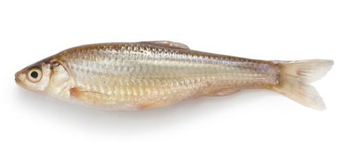 honmoroko, japanese willow shiner(female), luxury fish