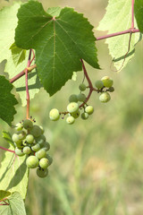 Green grapes ripen on branch of the vine on hot summer