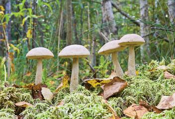 Mushrooms ( birch boletus, Leccidium scabrum) in autumnal forest