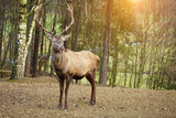 Fototapety Beautiful image of deer stag in forest landscape of forest in Au