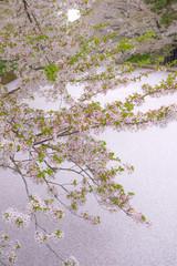 弘前城のお堀と桜