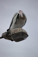 Australischer Pelikan - in Port Augusta - Australien
