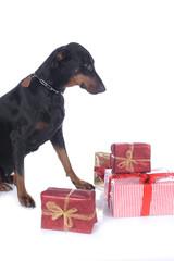 Dobermann mit Weihnachtsgeschenken