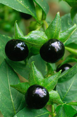 Deadly Nightshade (Atropa belladonna), berries and flowers