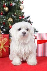 Niedlicher Malteser mit Weihnachtsgeschenken
