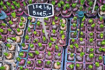 Amsterdam il mercato dei fiori, giacinti - Olanda