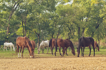 Grazing Horses on the farm ranch