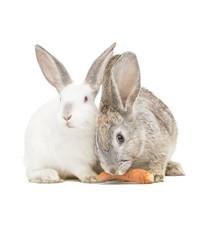 Zwei Kanninchen fressen eine Karotte