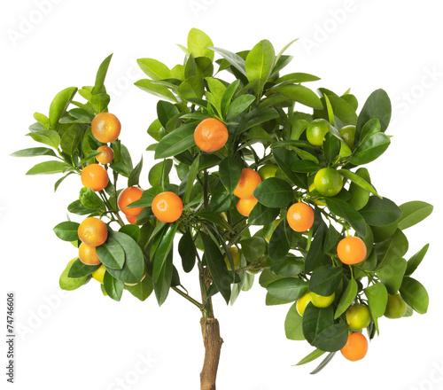 Fotobehang Vruchten tangerine tree isolated on the white background