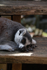 Dozing lemur