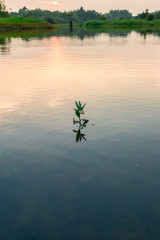 Small plant in water with sunset.