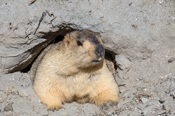 Funny marmot peeking out of a burrow in Ladakh, India
