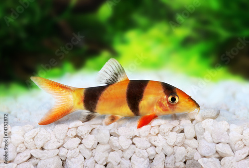 Deurstickers Tijger Clown loach tiger botia catfish Botia macracanthus