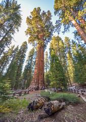 Giant sequoias in beautiful sequoia national park, California