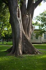 ニレの大木