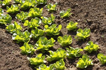 rows of lettuce in vegetable garden