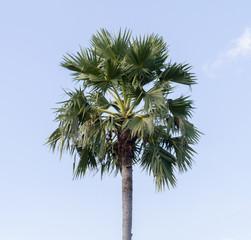 sugar palm on sky background.